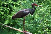 beautiful specimen of Black Stork