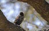 Immature Red-winged Blackbird (agelaius Phoeniceus)