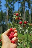 Female Hand, Picking Wild Raspberries In The Wood