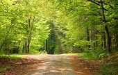 Cross-way In A Beech Tree Forest