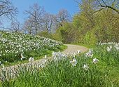 Narcissus Meadow In The Park