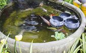The Carp Fish In The Pool