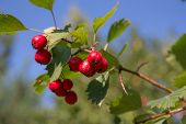 Hawthorn Branch With Ripe Berries