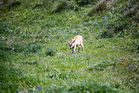 picture of blacktail  - Blacktail deer in the fields of Point Reyes National Seashore Marin County California - JPG