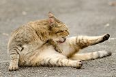 Cat cleaning and licking in outdoor.