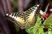pic of clippers  - Colorful clipper butterfly rests on a plant - JPG
