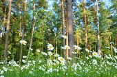 Daisies in a forest glade