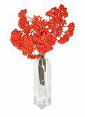 Red rowan berries in vase