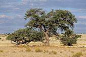 African Acacia Tree, South Africa