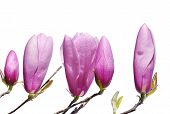Pink Lily Magnolia buds in spring