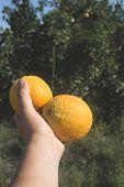 Oranges On A Branch.