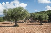 picture of olive trees  - Olive trees in plantation - JPG