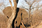 Elephant Bull Feeding On A Tree