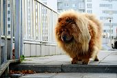 stock photo of chow  - Brown chow chow dog living in the european city - JPG