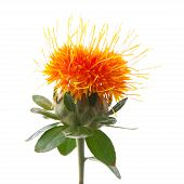 stock photo of substitutes  - bright orange Safflower - JPG