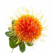 foto of substitutes  - bright orange Safflower - JPG