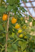 image of plum tomato  - Plum tomatoes tied up and  ripening in the greenhouse - JPG