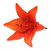 Tiger Lily Isolated On White Background