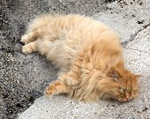 Red Cat With Fluffy Fur
