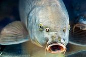Carp Fish In Aquarium Or Reservoir Ubder Water