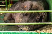 stock photo of boar  - Sleeping boar or pig in cell. Farm or farmland industry