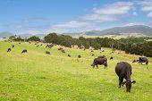 Green Grass Cows