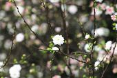 pic of dwarf  - Dwarf Flowering Cherry - JPG