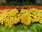 Oxeye daisy flower orange and Yellow garden decoration