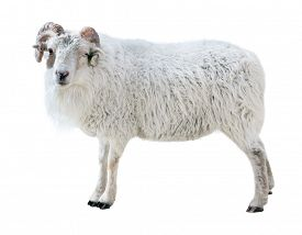 foto of suffolk sheep  -  Sheep with thick hair and twisted horns looks in the picture - JPG