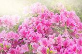 foto of azalea  - Flowers of Rhododendron  - JPG