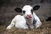 pic of dairy barn  - very young black and white calf in straw of barn with tongue up its nose - JPG