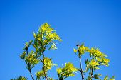 image of ashes  - Fresh ash tree leaves at a clear blue sky