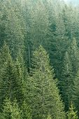 foto of ecosystem  - Healthy big green coniferous trees in a forest of old spruce fir and pine trees in wilderness area of a national park - JPG