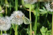 picture of dandelion  - A green viewed white butterfly settled on a seeding head of dandelion  - JPG