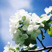 image of apple tree  - Tree with white apple flowers - JPG