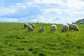 stock photo of pastures  - small flock of white sheep and a lamb on a green pasture under the blue sky with clouds - JPG