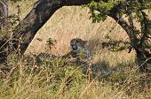 stock photo of cheetah  - Cheetah resting in the shade in African savanna. ** Note: Visible grain at 100%, best at smaller sizes - JPG