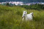 image of galloping horse  - Majestic white horse galloping in a field on a summers eve. ** Note: Visible grain at 100%, best at smaller sizes - JPG