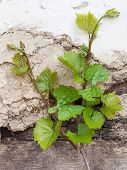 pic of grape leaf  - Grape vine with young leaves and buds blooming against of clay wall  - JPG