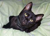 foto of sleepy  - sleepy black cat on green bed sheet  - JPG
