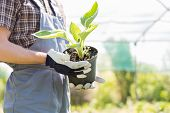stock photo of pot plant  - Midsection of gardener holding potted plant at nursery - JPG