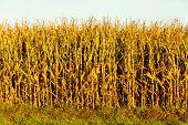 stock photo of corn stalk  - Dry corn field at the sunset - JPG