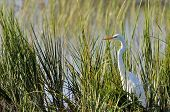 foto of common  - Great egret - JPG