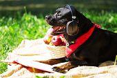 stock photo of dog park  - Cute dog in summer park wearing headphones - JPG
