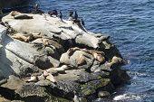 image of sea lion  - Sea Lions and Seals basking on the coastal Rocks at La Jolla in San Diego California - JPG