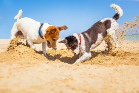 stock photo of toy dogs  - jack russell couple of dogs digging a hole in the sand at the beach on summer holiday vacation ocean shore behind - JPG