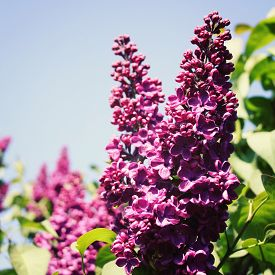 pic of violet flower  - Bush with Lilac flowers - JPG