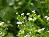 Avispa que aspira el polen de una flor pequeña blanca 1