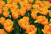 Tulips In Red And Orange