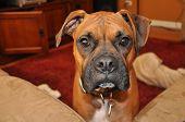 Boxer Puppy Dog Face